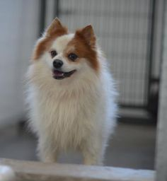 Petango.com – Meet Valentino, a 7 years 2 months Pomeranian available for adoption in COLORADO SPRINGS, CO