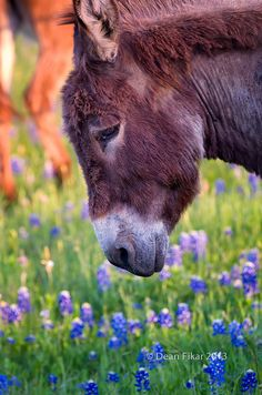 Donkey in a field of Bluebonnets