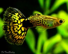A young mature Male Green Cobra Guppy. To see more click on ... http://www.AquariumFish.net/catalog_pages/livebearer_guppies/guppies_table.htm#3566