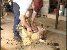 Navajo-Churro Sheep Sheep Shearing, Animal Fibres, Churros, Lambs, Navajo, Felting, Spinning, Weave, Meet