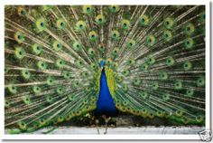 Peacock in Full Color - Wildlife Animal Nature POSTER