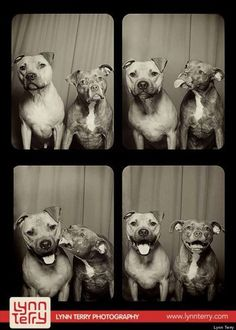Pit Bulls Willis & Bumper. From an article:  All this means that pit bulls aren't inherently anything, other than dogs with a blocky-shaped head. And of course the shape of a dog's head tells you exactly nothing about that dog's personality.