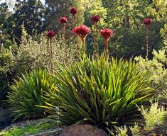 """Doryanthes excelsa """"Gymea Lily"""" planted in a row along your front Western garden bed Australian Native Garden, Australian Plants, Bush Garden, Garden Bed, Flora, Low Maintenance Plants, How To Attract Birds, Tropical Garden, Modern Tropical"""
