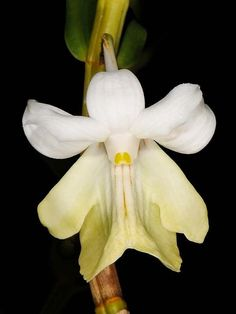 Orchid ~ Dendrobium uniflorum
