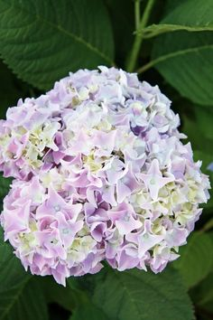 Endless Summer Hydrangeas - may bloom longer if in partial shade, add some color to late summer garden when nothing else is blooming. Height 3-5 feet, spread 3-5 feet.  Needs to be watered daily, may need some winter protection or protection in spring if nights get cold.  Being well watered and in a cool spot increases chance of reblooming and longer bloom time.  Unpredictable.  Can be pink or blue depending on soil ph.