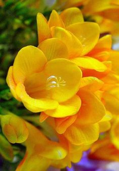 ★ Lively Yellow ★ Freesias