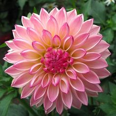 Dahlia 'Valley Porcupine'. A beautiful flower. I will have to find some of these.pj