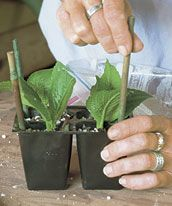 How to propagate softwood shrubs, and a list of shrubs that are easily propagated.  I like the idea of propagating my lilacs and hydrangeas!