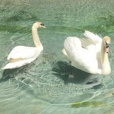Swan, aesthetic, and water image Nature Aesthetic, Aesthetic Photo, Aesthetic Pictures, Aesthetic Dark, Mint Green Aesthetic, The Wicked The Divine, Different Aesthetics, Aphrodite, Picture Wall