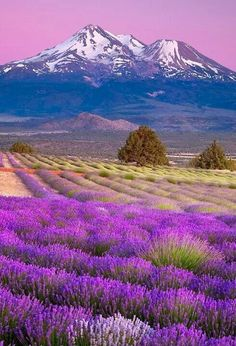 ...amazing nature..amazing Lavender ... Would love to stand in the field now and smell the beauty.