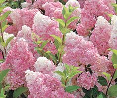 Восемь секретов шикарного цветения метельчатой гортензии