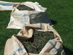 Starting the harvest of Grosso Lavender