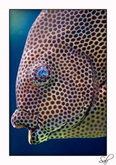 Stellate Rabbitfish/Siganus stellatus  sigstellatus2768_200209 by kactusficus, via Flickr