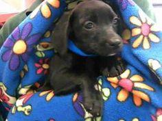 BO is an #adoptable Welsh Corgi Dog in #FortLauderdale, #FLORIDA.  ...