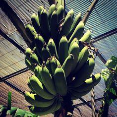 Hot House Banana's