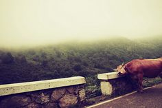 mu #vaca #cow #niebla #fog