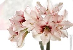 Amaryllis   These are so cheap and so beautiful! $6.99