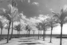 """Palms at Matheson Hammock"", Photo by Harriet Blum.  I shot this photo in Miami, FL using black and white infrared film."