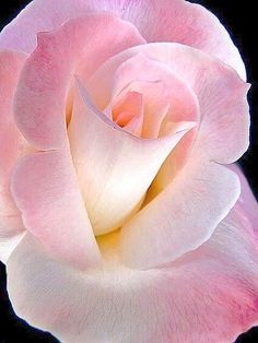 Rose beautiful flowers Flowers and flowers and flowers everywhere. Flowers Thru My Eyes Amazing Flowers, Beautiful Roses, My Flower, Pretty In Pink, Beautiful Flowers, Perfect Pink, Simply Beautiful, Absolutely Gorgeous, Pink Roses