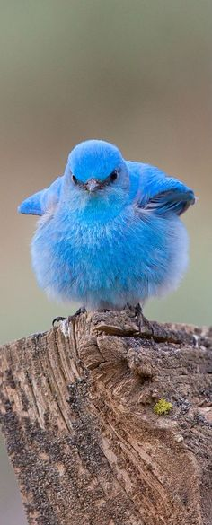 Oompa loompa doobeedeedoo, here's a bird that looks like violet beauregarde for you! (Mountain Bluebird)