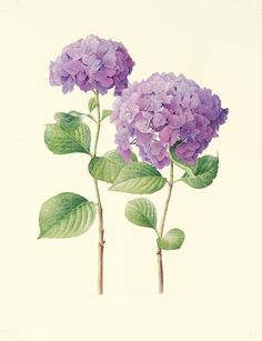 Hydrangea by Cheryl Wilbraham Hortensia Hydrangea, Hydrangea Flower, Hydrangeas, Botanical Flowers, Botanical Prints, Art Floral, Watercolor Flowers, Watercolor Paintings, Tatoo