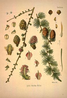 Larix decidua Miller., European larch or Common larch - Medicinal Botanical Plants