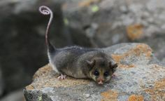 The Mountain Pygmy-possum, Burramys parvus, is Australia's only hibernating marsupial. There are thought to be less than 2000 Mountain Pygmy-possums left in the wild, and the species is listed as Critically Endangered.