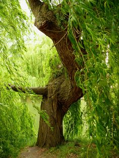 The Willow loves water, dances in the wind, reaches high to the sky, & deep into the soil.  Her fire is in her heart, her tenacity, her strength of bending as to not break. I seek refuge here.   ... BK