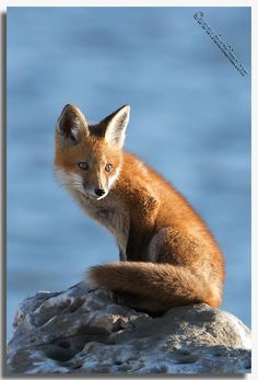 Red Fox by Butch Lama Photography