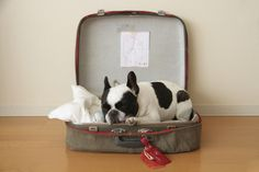 French Bulldog in a suitcase please.