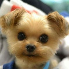 Hello, if you are searching for Teddy Bear Puppies in the state of Laguna Beach then you are the right place. You will find a comprehensive list of all the breeder that are located in your state. Teddy Bear Puppies, Tiny Puppies, Cute Puppies, Cute Dogs, Cute Babies, Bear Puppy, Lab Puppies, Teacup Puppies, Bear Dogs