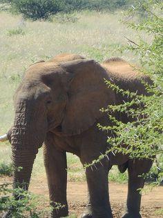 Zwei Stunden lang verspielte Elefanten beobachtet. Sehr anrührend. Unsere Namibia-Reise. Die Tierwelt rund um das Wasserloch vom Erindi Private Game Reserve, Teil drei