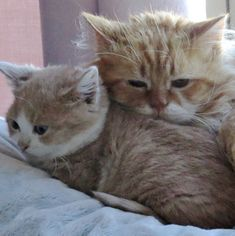 They are both rescues and both dwarfs. They found each other after a second chance at life. Meet Dodo the cat and William the kitten! Photo: Kitten Inn Dodo (aka Dumplin) was born with Hypothyroidism, a rare disease in cats. He grew up to be the size of a 12-14 week old kitten and has remain...