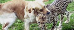 Dogs Help Cheetahs Overcome Breeding Fears In New Zoo Project: Baby cheetahs and puppies (typically from a rescue shelter) are gradually introduced to each other. They are given toys to help break the ice and encourage bonding, and eventually, friendships form. These friendships allow the cat to blow off some steam and relax, making it more willing to accept a mate.
