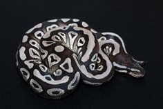 Axanthic VPI Mojave | Ball Python Mutations | Pinterest