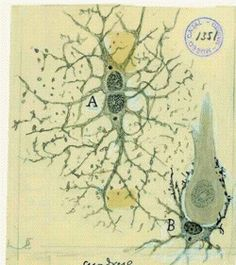 Ramon Y. Cajal was a pioneer in neuroscience as well as a fantastic artist. Using the Golgi staining method he was able to isolate and categorized different neurons in brain tissue.