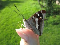 Сегодня в мой загородный офис прилетела бабочка, пока я работала, она билась о стекло, потом я её решила выпустить, но улетать она почему-то совсем не торопилась. Успела заснять её со всех сторон. А кто-то не верит в чудеса. Была гусеница, а стала бабочка, разве это не чудо? http://olga-borodina.ru/