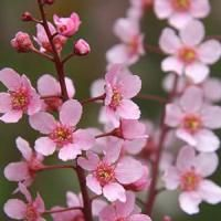 Prunus Padus Colorata Bird Cherry, a small tree with deep purple shoots, red-purple young leaves, pale pink spring blossom & small, black fruits. Standard Shape