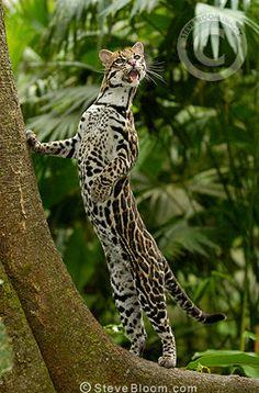Ecuador Rainforest Animals   Ocelot, Amazon Rain Forest, Ecuador - 003407-PO1