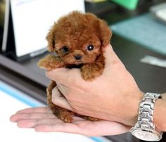 Question: Who loves tiny puppies? Correction: Everyone! Everyone loves tiny puppies! Tiny Puppies, Cute Dogs And Puppies, Little Puppies, Baby Dogs, Doggies, 15 Dogs, Baby Chihuahua, Puppies Tips, Adorable Puppies