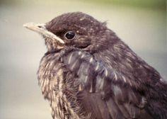 Die Amsel - Ein Sänger mit Talent (Foto ( Jürgensen ) : Dem Nest entflogene junge Amsel)