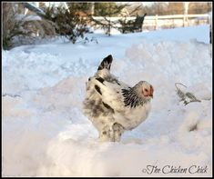 Surviving Winter with Chickens | The Chicken Chick® Keeping Chickens, Raising Chickens, Chicken Swing, Chicken Chick, Chicken Coops, Chicken Ideas, Chickens In The Winter, Winter Survival, Baby Chicks