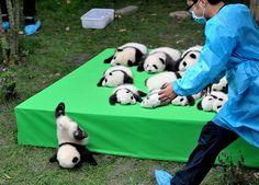 Panda Baby Faceplant