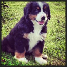 Our little Alfred! Bernese mountain dog puppy