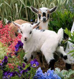 Baby goats - kids! So cute!