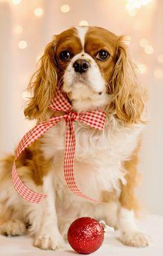 Christmas King Charles Cavalier! Such a pretty girl!