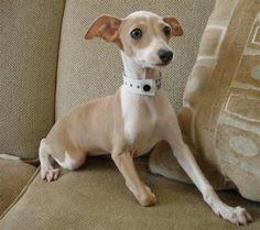 Italian Greyhound Puppy...