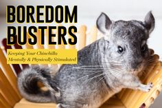 Boredom Busters: Keeping Your Chinchilla Mentally & Physically Stimulated Diy Chinchilla Toys, Chinchilla Care, Puppy Care, Dog Care, Hammock Diy, Classroom Pets, Cat Insurance, Feline Leukemia, Pocket Pet