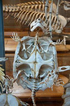 Paris: Museum of compared anathomy 12 Animal Skeletons, Animal Skulls, Skeleton Muscles, Curiosity Killed The Cat, Tortoise Turtle, Animal Anatomy, Animal Bones, Reptiles And Amphibians, Tortoises