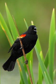 Redwing Blackbird - by jeremyjonkman